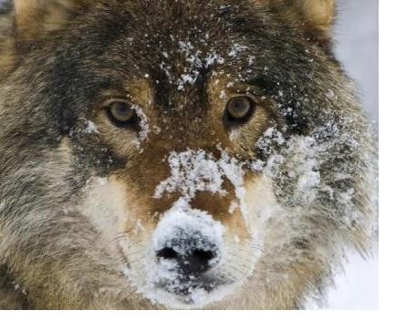 Name:  Norwegen-Wolf.jpg Hits: 2069 Größe:  67,3 KB